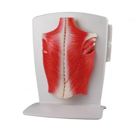Model mięśni pleców (4-częściowy)