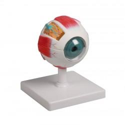 6-częściowy model oka ludzkiego