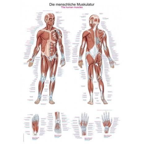 Tablica anatomiczna – układ mięśniowy człowieka