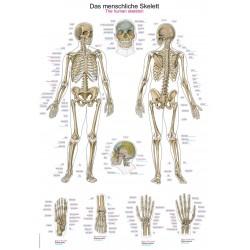 Tablica anatomiczna – szkielet człowieka
