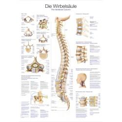 Tablica anatomiczna - kręgosłup