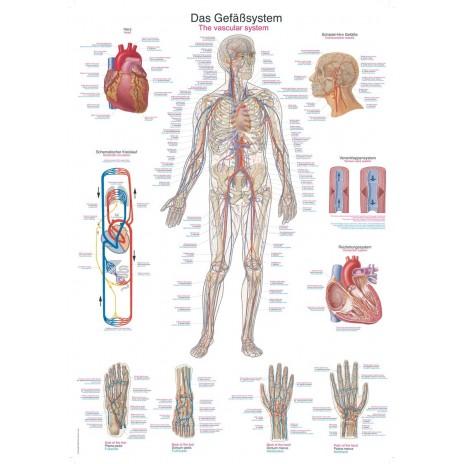 Układ krwionośny – tablica anatomiczna