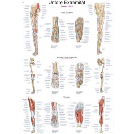 Kończyna dolna - tablica anatomiczna