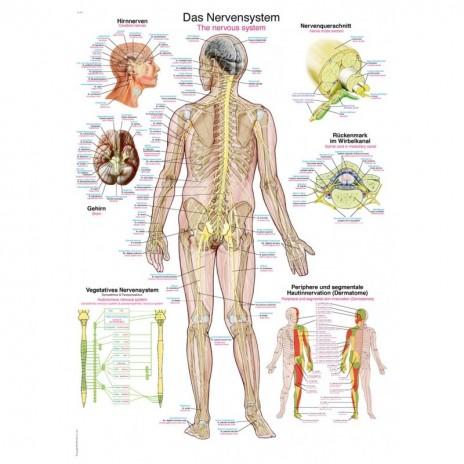 Układ nerwowy - tablica anatomiczna - mała