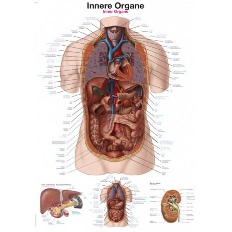 Narządy wewnętrzne - tablica anatomiczna