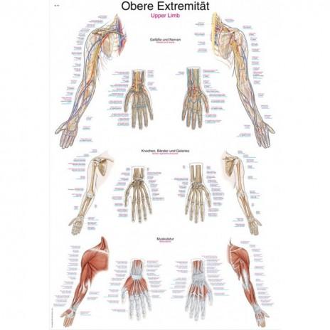 Kończyna Górna - tablica anatomiczna - mała