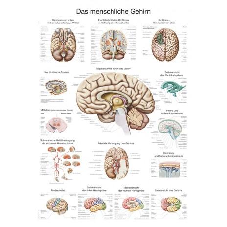 Mózg - tablica anatomiczna
