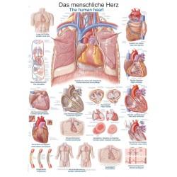 Serce - tablica anatomiczna