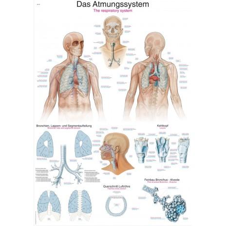 Układ oddechowy - tablica anatomiczna