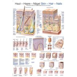 Skóra, włosy, paznokcie - tablica anatomiczna
