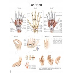 Dłoń - tablica anatomiczna